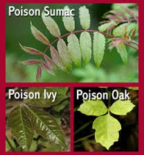Dog Walked Through Poison Ivy